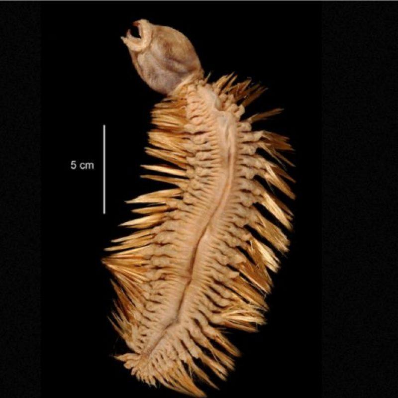8. Eulagisca Gigantea. Vive en la Antártida. Foto:vía RealMounstrosities