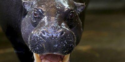 Los animales se han escapado de la Hacienda Nápoles, que perteneció a Pablo Escobar. Foto:Getty Images