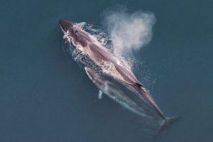 Las ballenas Sei pueden alcanzar a medir 19,5 metros de largo (64 pies) Foto:Wikipedia.org