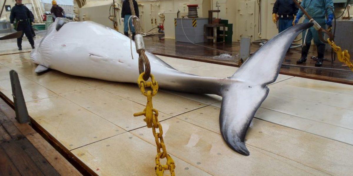 """Controversia: Matarán a 333 ballenas con """"fines científicos"""""""