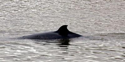 Este año matarán a 333 ballenas. Foto:Getty Images