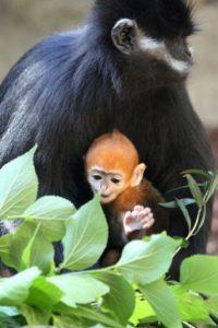 Se han vuelto de los más raros en el mundo debido a la caza furtiva y la destrucción de su hábitat. Foto:Vía Facebook.com/tarongazoo
