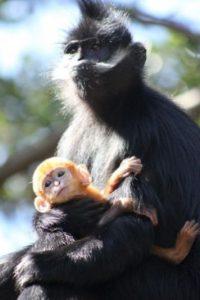 Mono langur de Francois Foto:Vía Facebook.com/tarongazoo