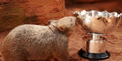 Son familia de los marsupiales y llaman la atención por su simpático aspecto. Foto:Vía Facebook.com/tarongazoo