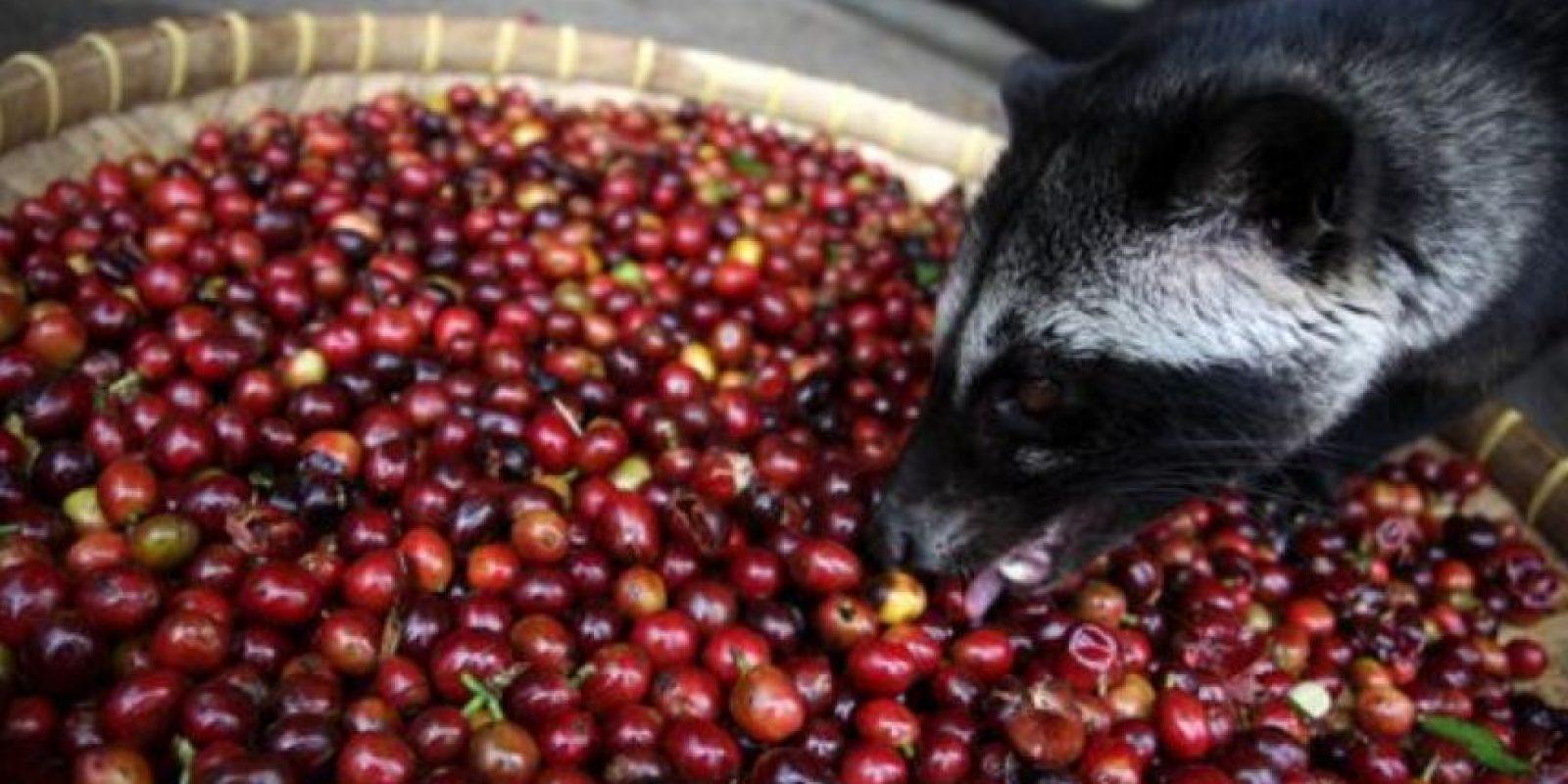 10. Café de civeta. Lo más importante que deben saber es que está hecho de heces de animales. Foto:Vía wikipedia.org