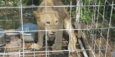 Iban en busca de droga y ¡Sorpresa! Encuentran una leona