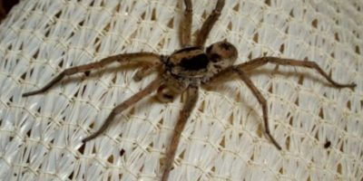 """Araña Lobo: se encuentran en Texas, África y California. La menos """"peligrosa"""" de las arañas. Sin embargo, su picadura es extremadamente dolorosa y este sufrimiento puede tardar días (en caso de que a la víctima se le atienda prontamente). Foto:vía Wikipedia"""