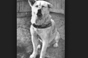 2. Hachiko: El perro acompañaba a su dueño todos los días hasta la estación del tren en Tokio y volvía para recibirlo. Un día su amo sufrió un paro cardiaco y no regresó. Foto:Vía Wikimedia.org