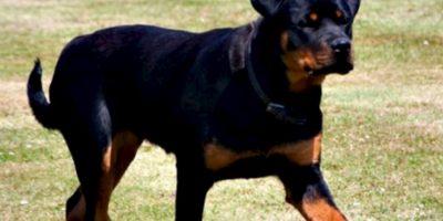 5. Yves es un Rottweiler que salvó la vida de su dueña, la estadounidense Katie Vaughan, una persona parcialmente paralizada que conducía su auto cuando de repente éste se detuvo. Foto:Vía Wikimedia.org