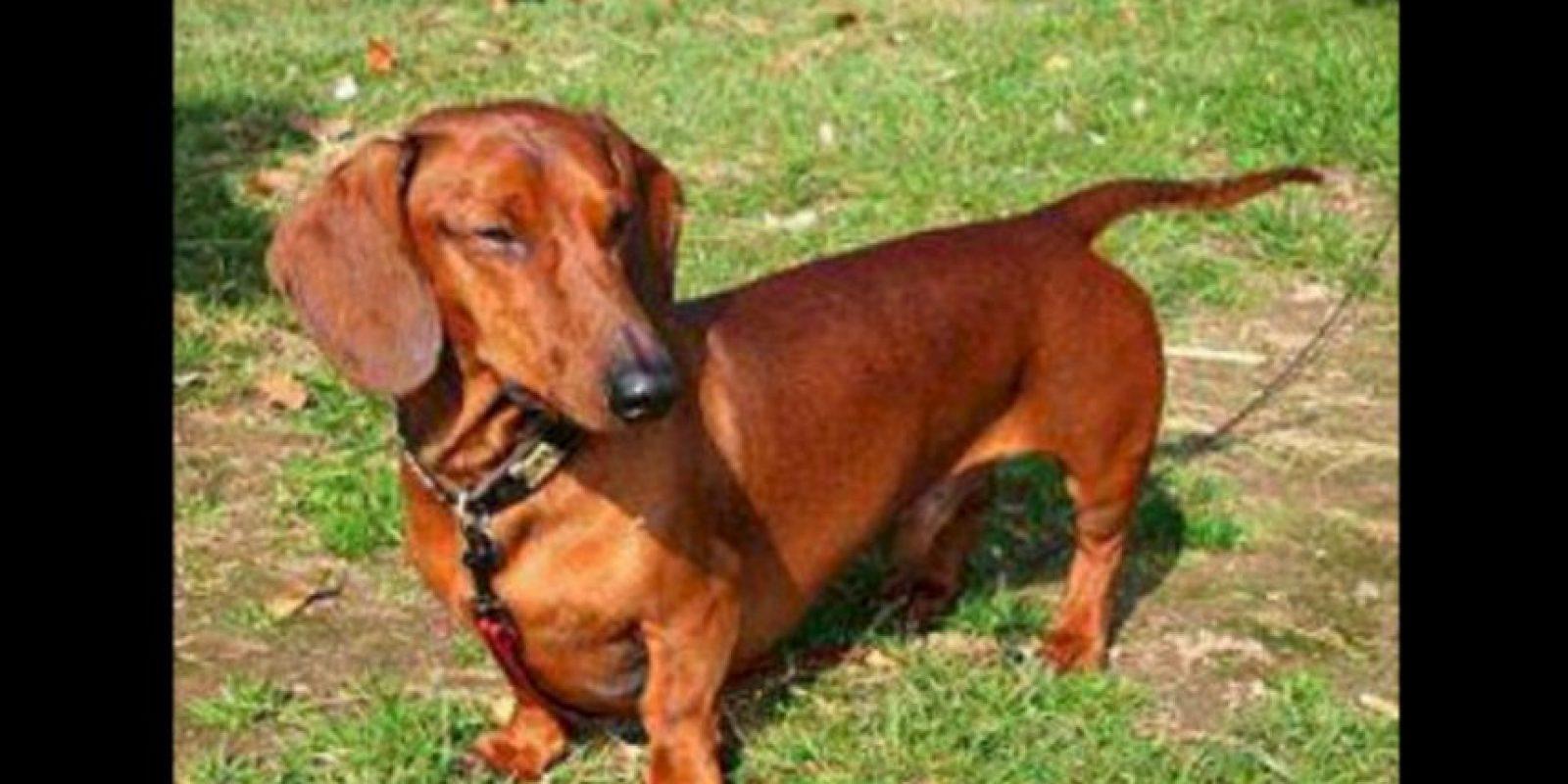 4. El año pasado, cuando un perro violento atacó a una niña de 10 años, el perrito temerario saltó a su rescate. Foto:Wikipedia Commons