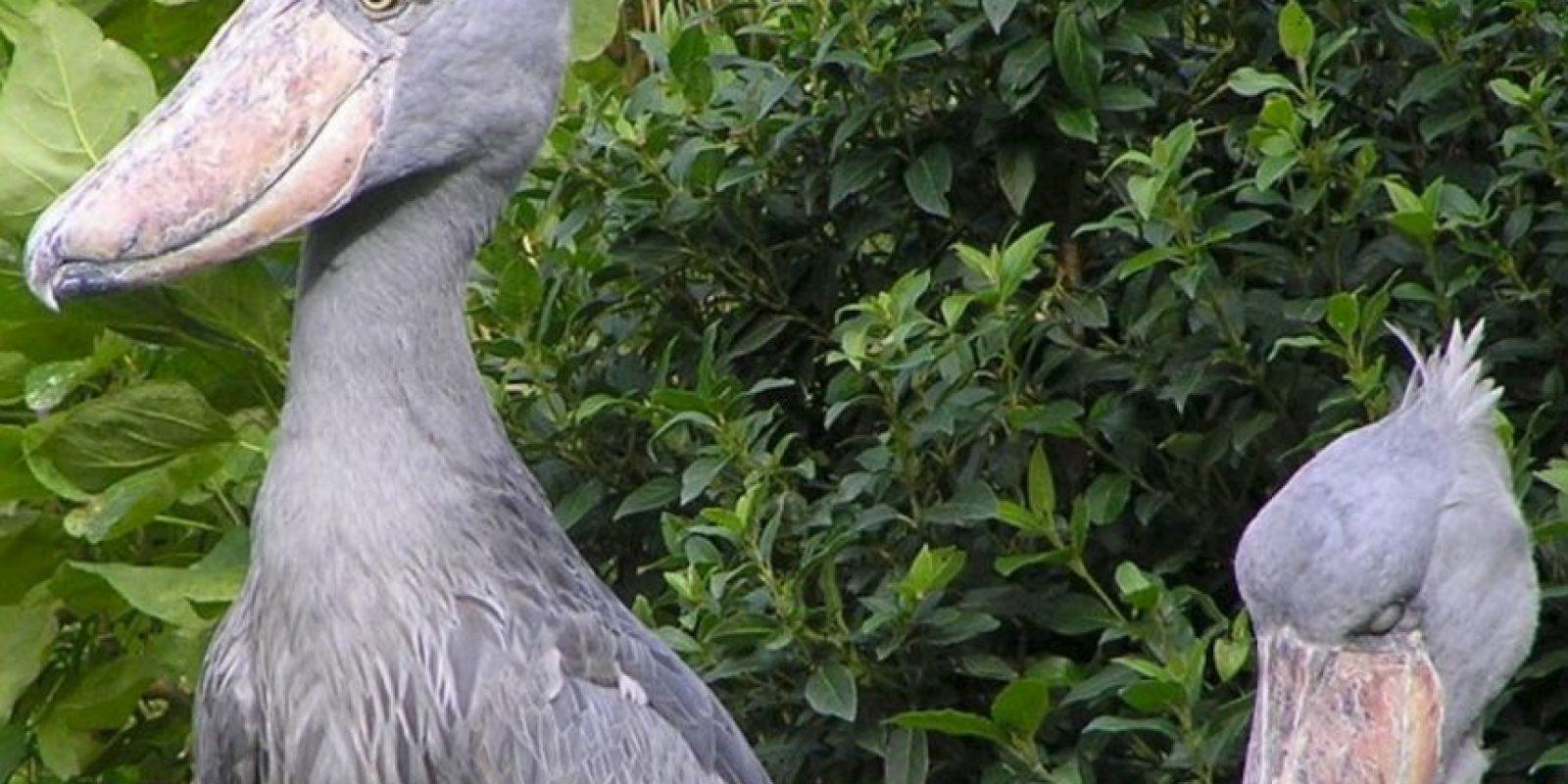 4. Pelícano Picozapato. Foto:Wikipedia