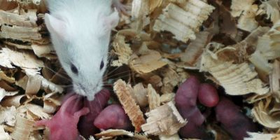 El roedor ya es utilizado para detectar minas terrestres en África. Foto:Getty Images