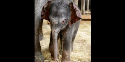Los elefantes son una de las razas de animales más fuertes. Foto:Vía facebook.com/tierparkberlin
