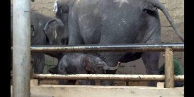 En el zoológico convivirá con elefantes africanos y asiáticos por igual. Foto:Vía facebook.com/tierparkberlin