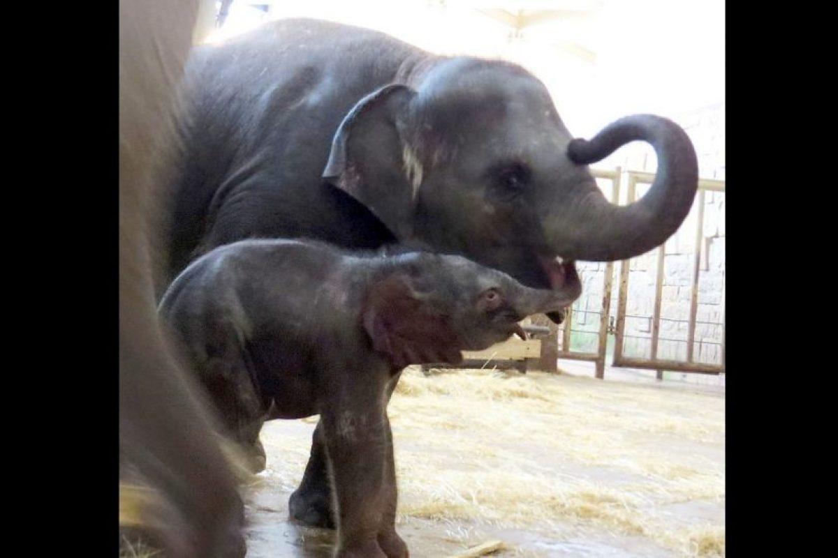 Asimismo, son los animales terrestres más grandes que existen en la actualidad. Foto:Vía facebook.com/tierparkberlin
