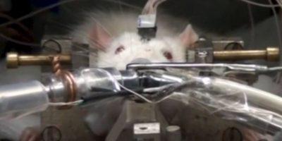 Además de detectar la reacción fisiológica de las ratas. Foto:Vía Youtube