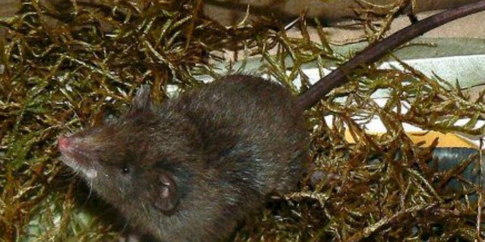 """De ahí a que se les llame """"runchos"""". Foto:vía Mammalogy.org"""