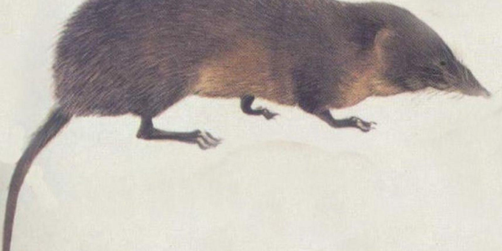 Pero las ratas gigantes no son ninguna leyenda urbana. Sí existen. Foto:vía Wikipedia
