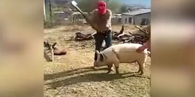 """Video: Granjero intenta matar a un cerdo y el """"karma"""" lo sorprende"""