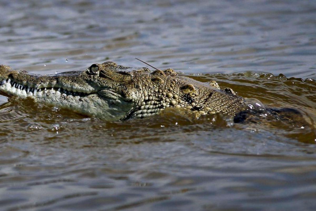 Las principales poblaciones habitan zonas pantanosas desde el Sudeste asiático hasta el Norte de Australia. Foto:Getty Images