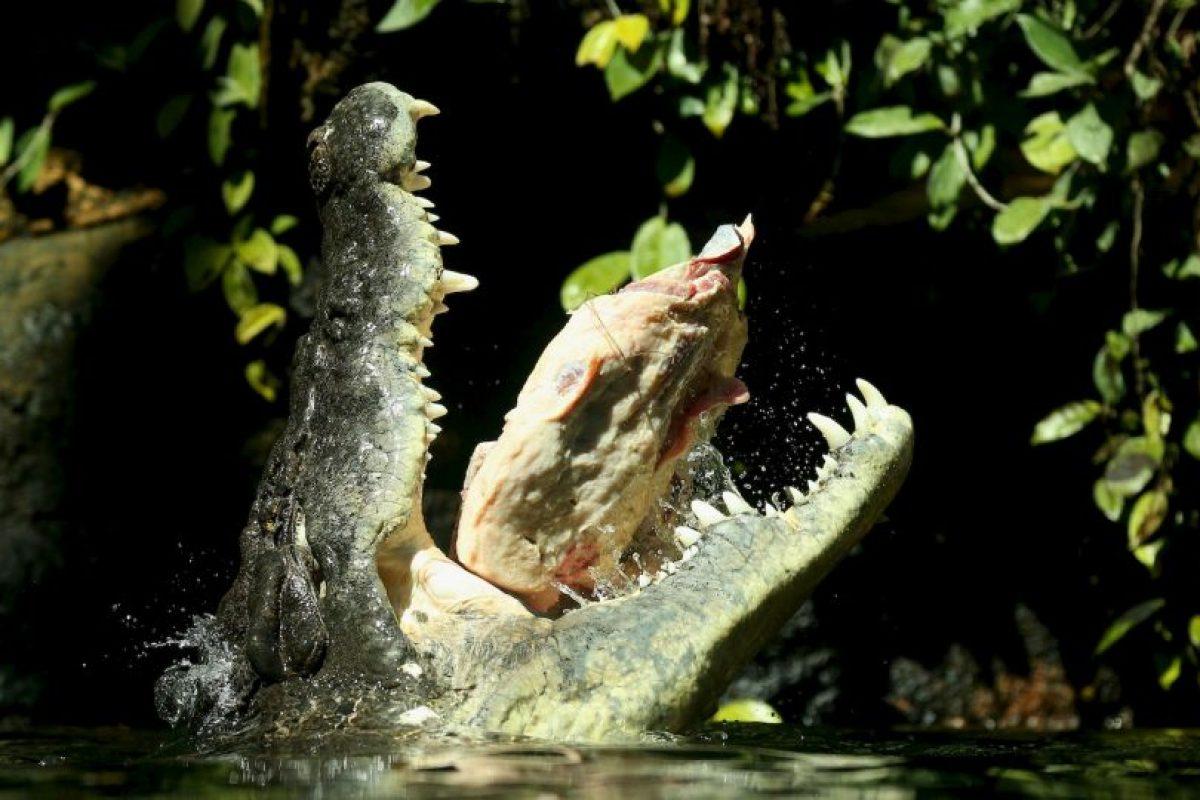 Los machos pesan entre 900 y mil 500 kilogramos (mil 900 a tres mil 300 libras). Foto:Getty Images