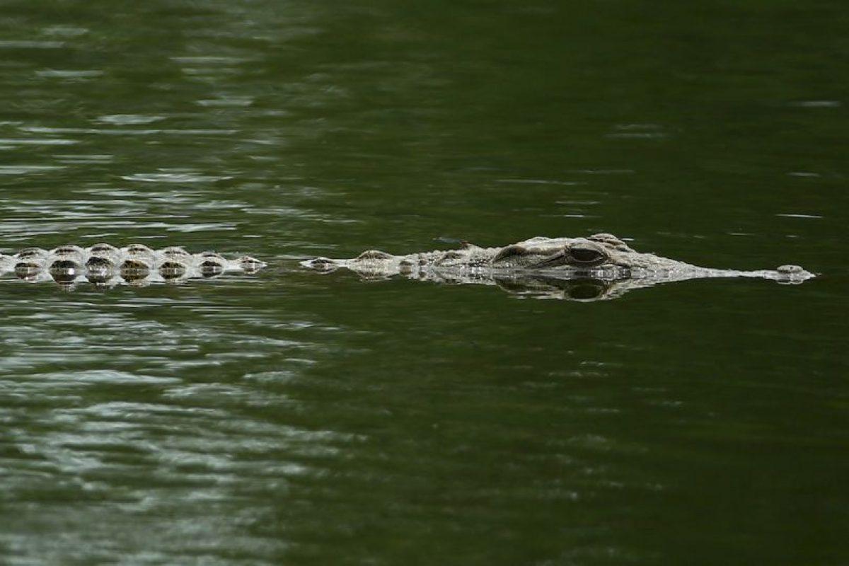 Es el cocodrilo de mayor tamaño del mundo Foto:Getty Images