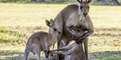 Fotos: Madre canguro agonizando frente a su familia conmueve Internet