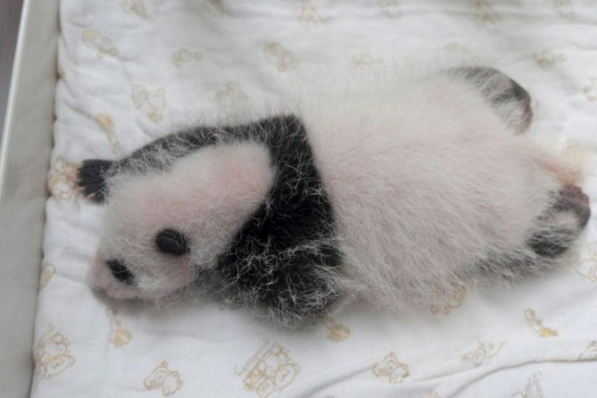 Los cuidadores de pandas no paran de ver estas tiernas caritas Foto:Getty Images