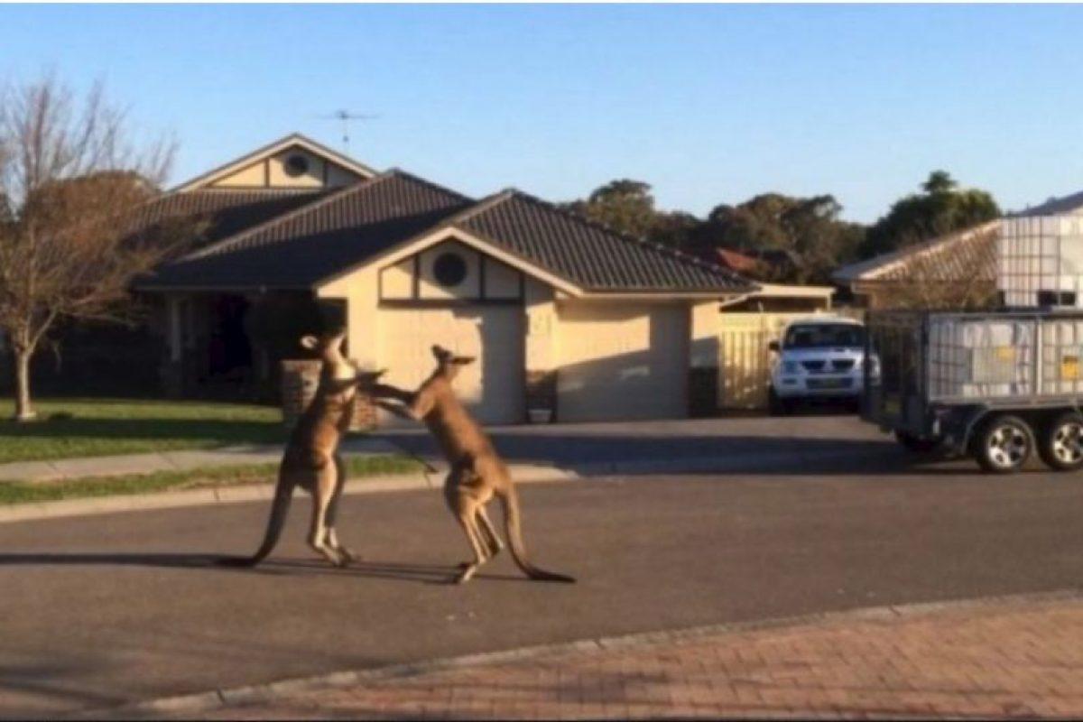 Un pareja de canguros fueron grabados mientras sostenían una insólita pelea callejera en el estado de Nueva Gales del Sur, en Australia Foto:YouTube-Archivo