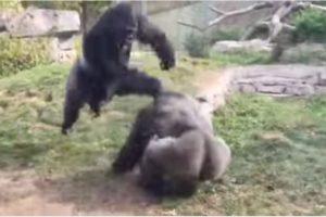 Los gorilas protagonizaron una espectacular pelea callejera Foto:YouTube-Archivo