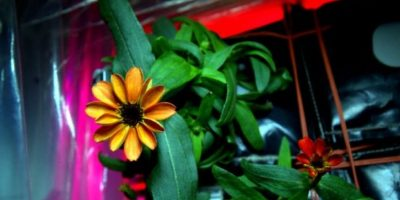Así sobrevive y crece la flor zinnia Foto:Twitter @Scott Kelly