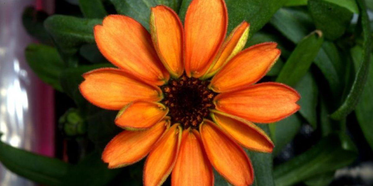 NASA muestra la primera flor nacida en el espacio