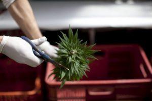 La industria de la marihuana legal en Estados Unidos subió un 74 por ciento en 2014 a US$ 2.7 mil millones Foto:Getty
