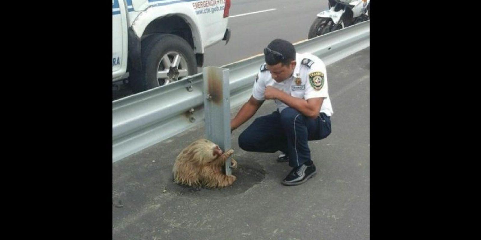 Se encuentran emparentados con los osos hormigueros, y más lejanamente, con los armadillos. Foto:Vía facebook.com/ctecuador