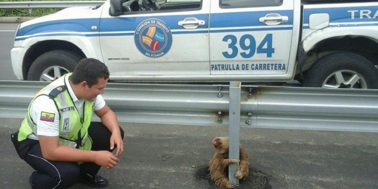 Los perezosos son una especie que vive en las selvas húmedas de Centro y Sudamérica. Foto:Vía facebook.com/ctecuador