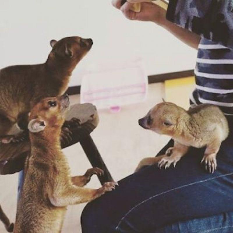 Es un mamífero carnívoro Foto:Instagram.com/tag/search/kinkanjou