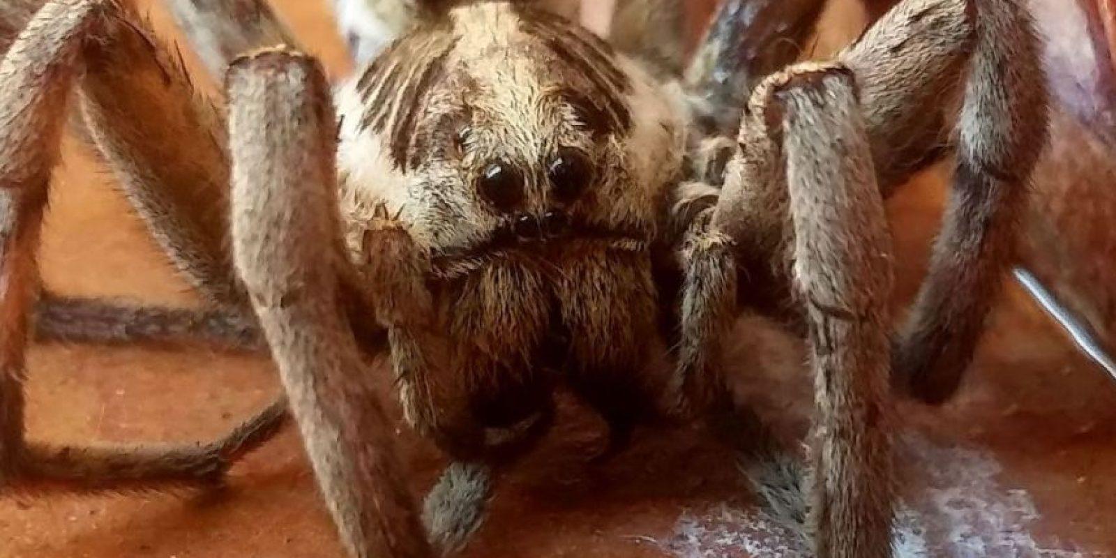 La araña lobo: su picadura puede causar una infección grave que si no se trata puede causar complicaciones serias. Foto:commons.wikimedia.org