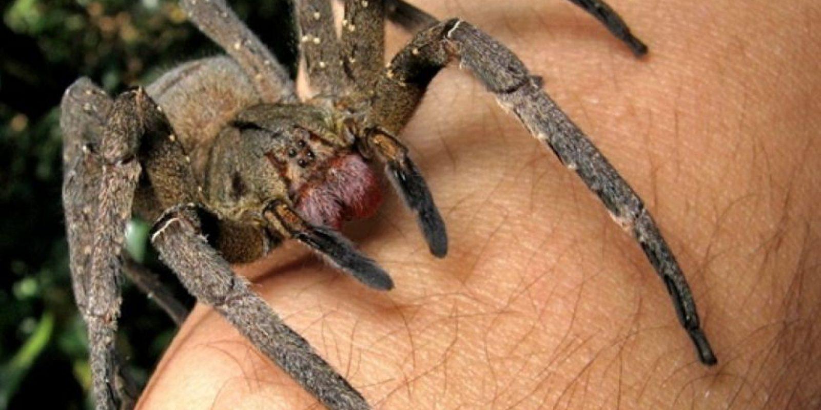 Araña errante brasileña: es una de las especies más agresivas. Su mordida puede ser fatal si no se trata. Foto:en.wikipedia.org