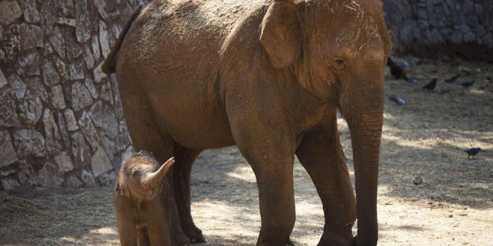 El peso al nacer usualmente es 120 kilógramos (53 libras) Foto:Getty Images