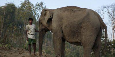Los elefantes son los animales terrestres más grandes que existen en la actualidad. Foto:Getty Images