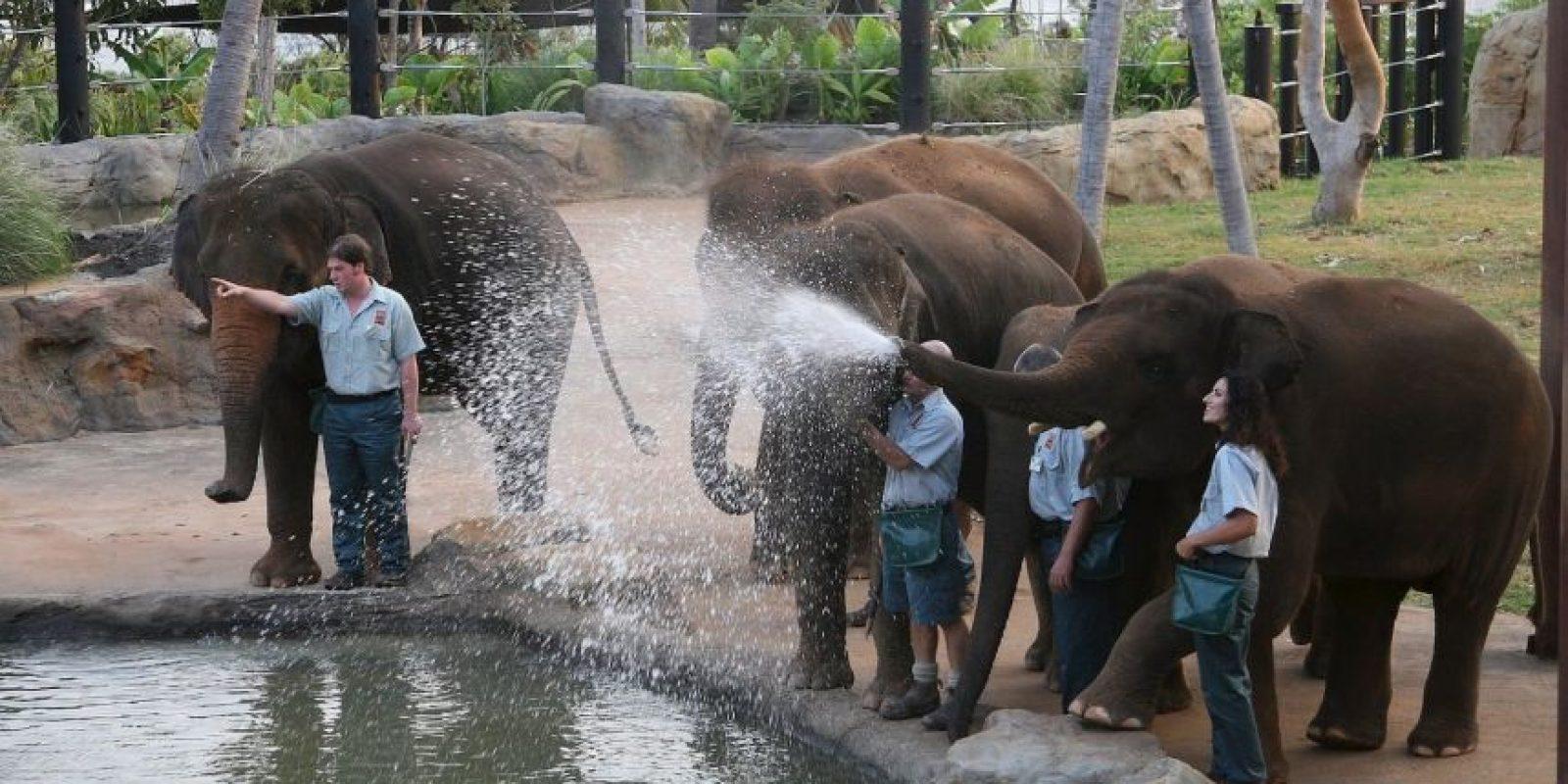 Su periodo de gestación es de 22 meses, el más largo en cualquier animal terrestre. Foto:Getty Images