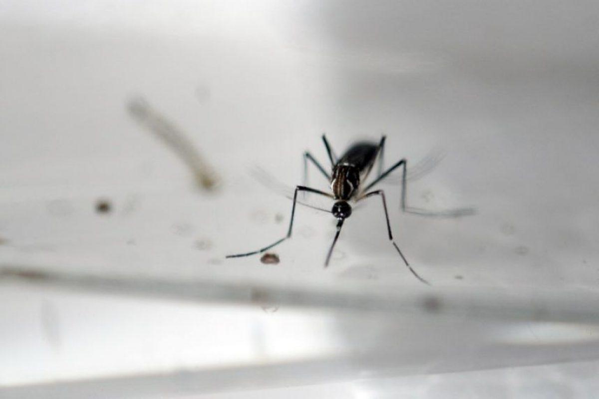 A pesar de que los síntomas del Zika –transmitido por el mosco Aedes aegypti– suelen ser de poca gravedad, se le vincula con daños de alto nivel. Foto:AFP