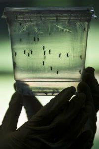 Un científico muestra un recipiente con mosquitos transmisores del virus del Zika. Foto:AFP