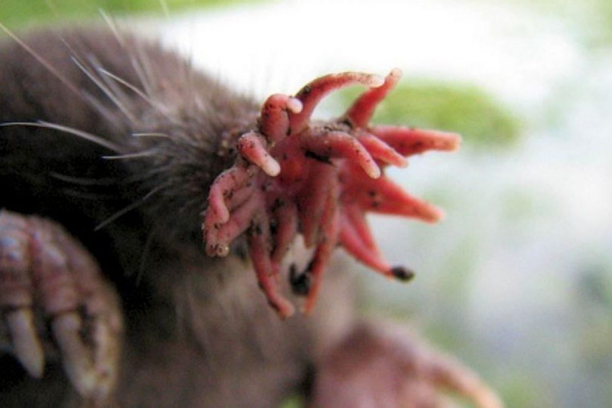 8. Star-nosed Mole. Foto:Wikipedia