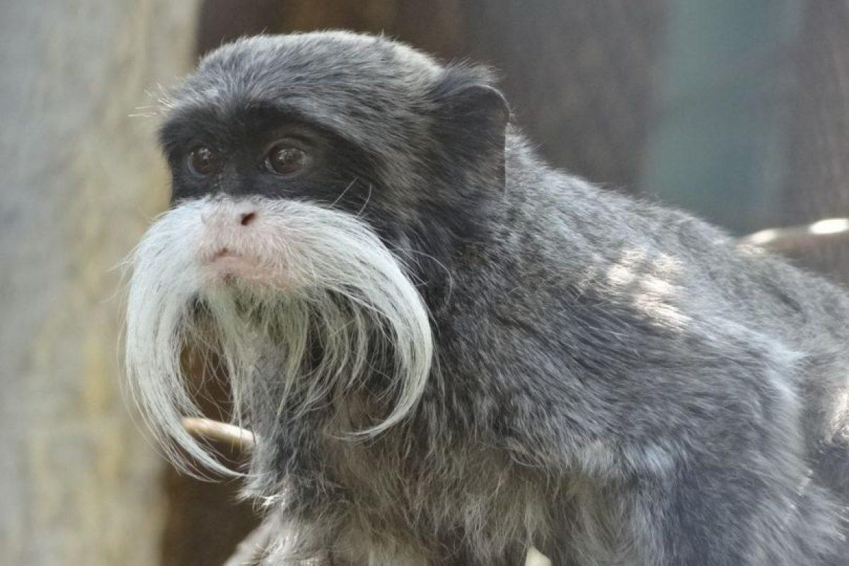 10. Tití bigotudo. Foto:Flickr