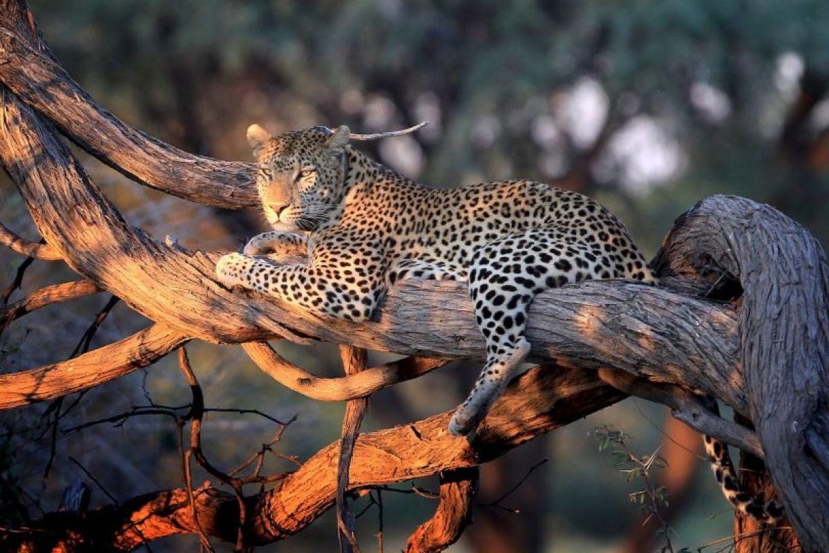 El leopardo es un elegante y fuerte felino emparentado con los leones, los tigres y los jaguares. Foto:Getty Images