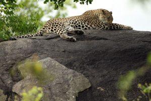 Se siente tan cómodo en los árboles que suele llevar a sus presas a las ramas. Foto:Getty Images