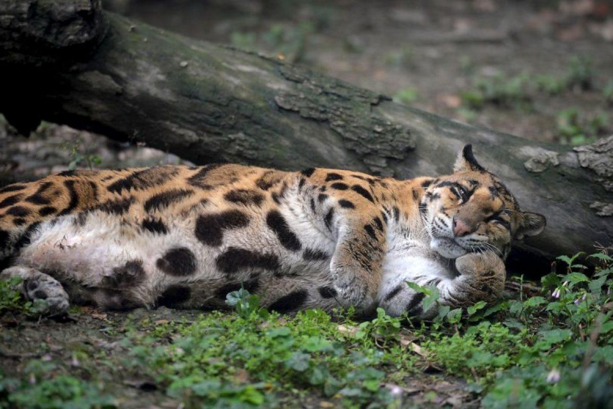 Estos grandes felinos llegan a pesar entre 30 y 80 kilográmos (86 y 176 libras). Foto:Getty Images