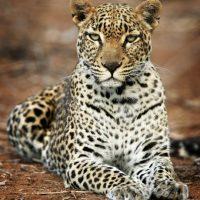 Están amenazados especialmente en las regiones fuera de África. Foto:Getty Images