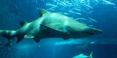 Tiburón toro Foto:Wikipedia Commons